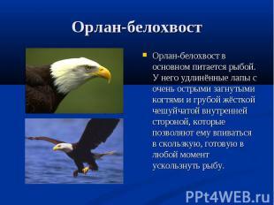 Орлан-белохвост в основном питается рыбой. У него удлинённые лапы с очень острым