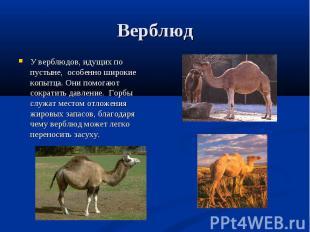 У верблюдов, идущих по пустыне, особенно широкие копытца. Они помогают сократить