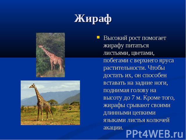 Высокий рост помогает жирафу питаться листьями, цветами, побегами с верхнего яруса растительности. Чтобы достать их, он способен вставать на задние ноги, поднимая голову на высоту до 7 м. Кроме того, жирафы срывают своими длинными цепкими языками ли…