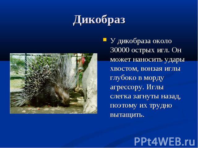 У дикобраза около 30000 острых игл. Он может наносить удары хвостом, вонзая иглы глубоко в морду агрессору. Иглы слегка загнуты назад, поэтому их трудно вытащить. У дикобраза около 30000 острых игл. Он может наносить удары хвостом, вонзая иглы глубо…