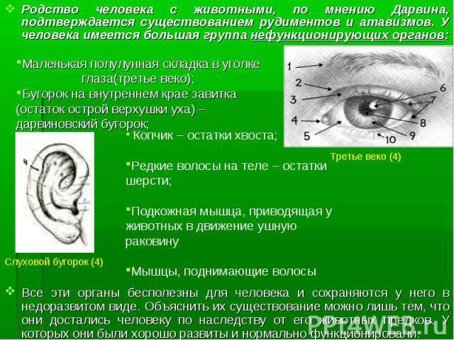 Родство человека с животными, по мнению Дарвина, подтверждается существованием рудиментов и атавизмов. У человека имеется большая группа нефункционирующих органов: Родство человека с животными, по мнению Дарвина, подтверждается существованием рудиме…