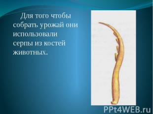 Для того чтобы собрать урожай они использовали серпы из костей животных. Для тог