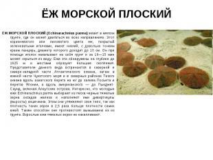 ЁЖ МОРСКОЙ ПЛОСКИЙ (Echinarachnius parma) живет в мягком грунте, где он может дв
