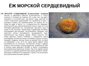 ЁЖ МОРСКОЙ СЕРДЦЕВИДНЫЙ (Echinocardium cordatum) обитает в умеренных широтах Атл