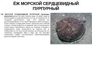 ЁЖ МОРСКОЙ СЕРДЦЕВИДНЫЙ ПУРПУРНЫЙ (Spatangus purpureus) делает не очень глубокие