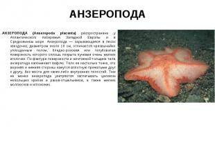 АНЗЕРОПОДА (Anseropoda placenta) распространена у Атлантического побережья Запад
