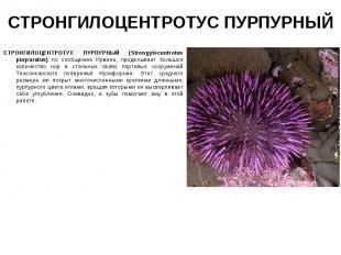 СТРОНГИЛОЦЕНТРОТУС ПУРПУРНЫЙ (Strongylocentrotus purpuratus) по сообщению Ирвина