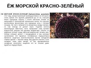 ЁЖ МОРСКОЙ КРАСНО-ЗЕЛЁНЫЙ (Sphaerechinus granularis) Этот вид, распространенный