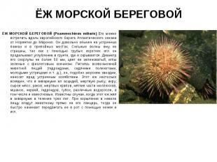 ЁЖ МОРСКОЙ БЕРЕГОВОЙ (Psammechinus miliaris) Его можно встретить вдоль европейск