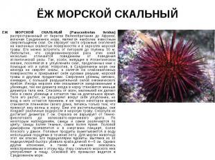 ЁЖ МОРСКОЙ СКАЛЬНЫЙ (Paracentrotus lividus) распространенный от берегов Великобр