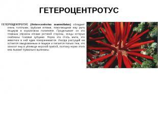 ГЕТЕРОЦЕНТРОТУС (Heterocentrotus mammillatus) обладает очень толстыми, грубыми и