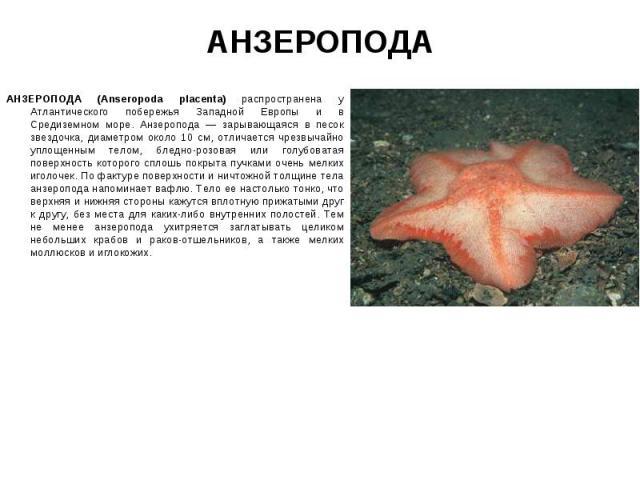 АНЗЕРОПОДА (Anseropoda placenta) распространена у Атлантического побережья Западной Европы и в Средиземном море. Анзеропода — зарывающаяся в песок звездочка, диаметром около 10 см, отличается чрезвычайно уплощенным телом, бледно-розовая или голубова…