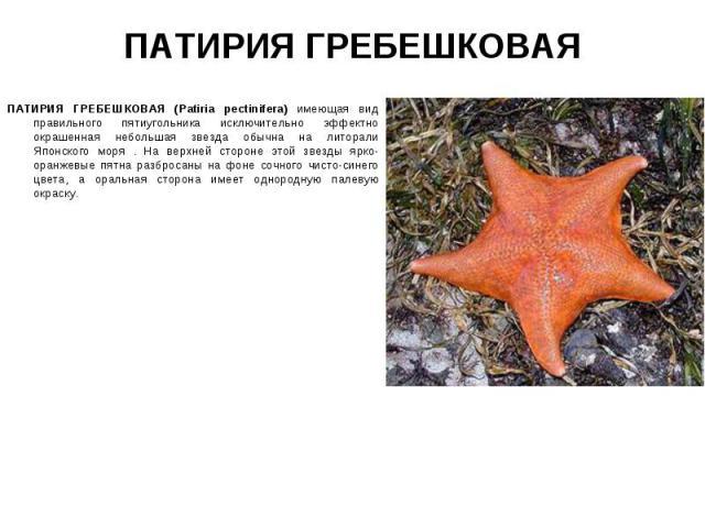ПАТИРИЯ ГРЕБЕШКОВАЯ (Patiria pectinifera) имеющая вид правильного пятиугольника исключительно эффектно окрашенная небольшая звезда обычна на литорали Японского моря . На верхней стороне этой звезды ярко-оранжевые пятна разбросаны на фоне сочного чис…