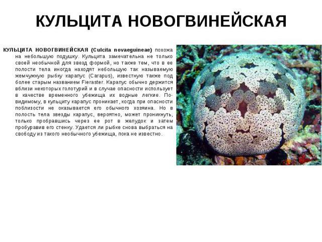 КУЛЬЦИТА НОВОГВИНЕЙСКАЯ (Culcita novaeguineae) похожа на небольшую подушку. Кульцита замечательна не только своей необычной для звезд формой, но также тем, что в ее полости тела иногда находят небольшую так называемую жемчужную рыбку карапус (Саrapu…