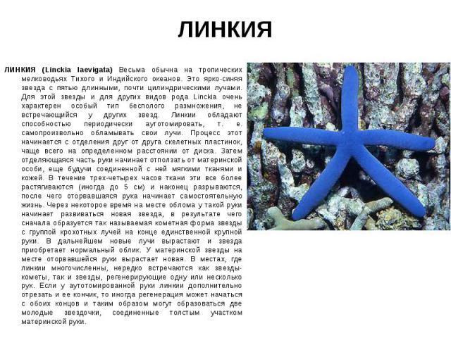 ЛИНКИЯ (Linckia laevigata) Весьма обычна на тропических мелководьях Тихого и Индийского океанов. Это ярко-синяя звезда с пятью длинными, почти цилиндрическими лучами. Для этой звезды и для других видов рода Linckia очень характерен особый тип беспол…