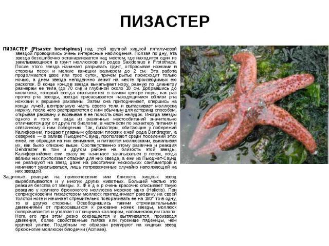 ПИЗАСТЕР (Pisaster brevispinus) над этой крупной хищной пятилучевой звездой проводились очень интересные наблюдения. Ползая по дну, эта звезда безошибочно останавливается над местом, где находится один из закапывающихся в грунт моллюсков из родов Sa…