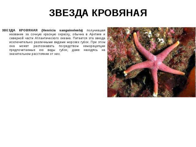 ЗВЕЗДА КРОВЯНАЯ (Henricia sanguinolenta) получившая название за сочную красную окраску, обычна в Арктике и северной части Атлантического океана. Питается эта звезда исключительно различными видами морских губок. При этом она может распознавать посре…