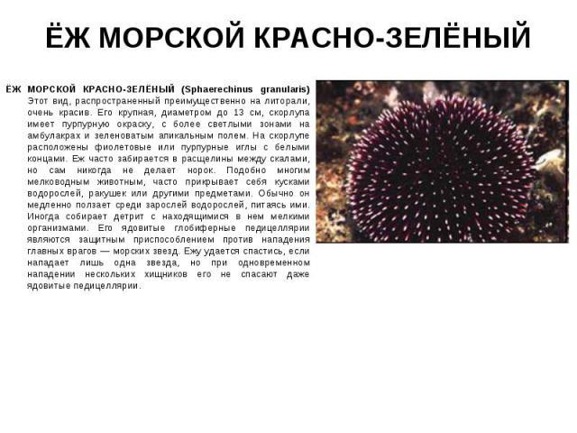 ЁЖ МОРСКОЙ КРАСНО-ЗЕЛЁНЫЙ (Sphaerechinus granularis) Этот вид, распространенный преимущественно на литорали, очень красив. Его крупная, диаметром до 13 см, скорлупа имеет пурпурную окраску, с более светлыми зонами на амбулакрах и зеленоватым апикаль…
