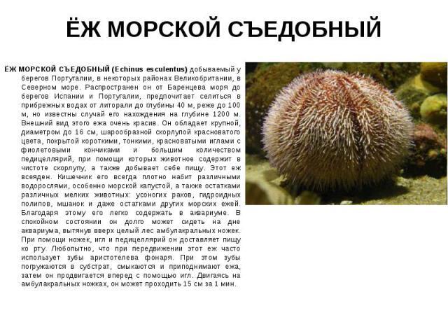 ЁЖ МОРСКОЙ СЪЕДОБНЫЙ (Echinus esсulentus) добываемый у берегов Португалии, в некоторых районах Великобритании, в Северном море. Распространен он от Баренцева моря до берегов Испании и Португалии, предпочитает селиться в прибрежных водах от литорали …