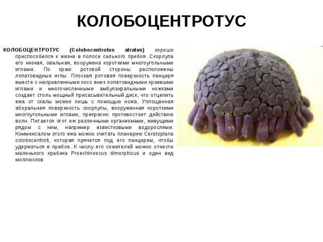 КОЛОБОЦЕНТРОТУС (Colobocentrotus atratus) хорошо приспособился к жизни в полосе сильного прибоя. Скорлупа его низкая, овальная, вооружена короткими многоугольными иглами. По краю ротовой стороны расположены лопатовидные иглы. Плоская ротовая поверхн…
