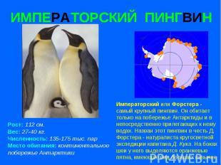 ИМПЕРАТОРСКИЙ ПИНГВИН Рост: 112 см. Вес: 27-40 кг. Численность: 135-175 тыс. пар