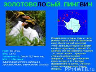 ЗОЛОТОВОЛОСЫЙ ПИНГВИН Рост: 50-60 см. Вес: 4,5 кг. Численность: более 11,5 млн.