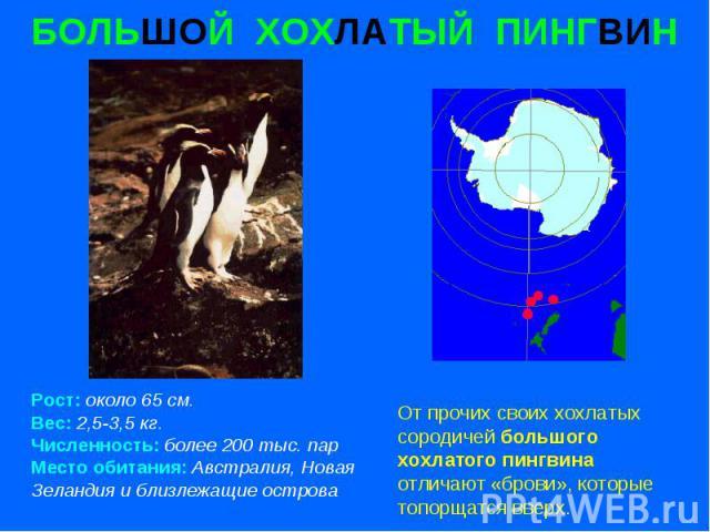 БОЛЬШОЙ ХОХЛАТЫЙ ПИНГВИН Рост: около 65 см. Вес: 2,5-3,5 кг. Численность: более 200 тыс. пар Место обитания: Австралия, Новая Зеландия и близлежащие острова
