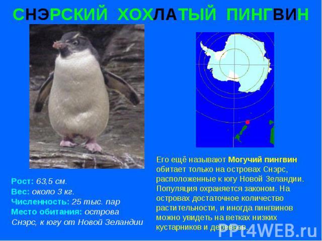 СНЭРСКИЙ ХОХЛАТЫЙ ПИНГВИН Рост: 63,5 см. Вес: около 3 кг. Численность: 25 тыс. пар Место обитания: острова Снэрс, к югу от Новой Зеландии