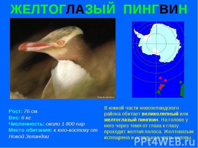 ЖЕЛТОГЛАЗЫЙ ПИНГВИН Рост: 76 см. Вес: 6 кг. Численность: около 1 800 пар Место обитания: к юго-востоку от Новой Зеландии