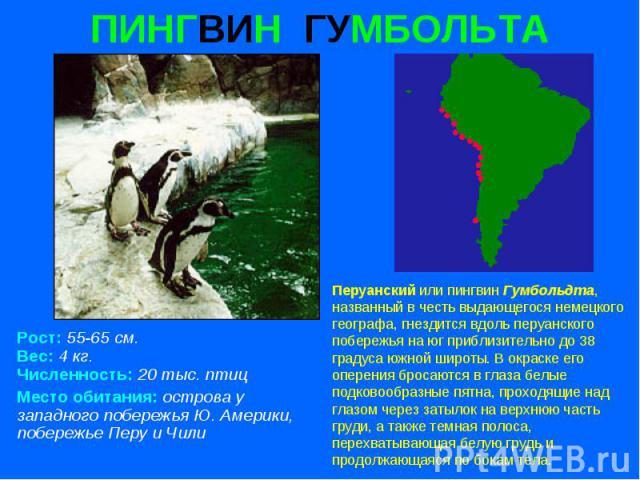 ПИНГВИН ГУМБОЛЬТА Рост: 55-65 см. Вес: 4 кг. Численность: 20 тыс. птиц Место обитания: острова у западного побережья Ю. Америки, побережье Перу и Чили