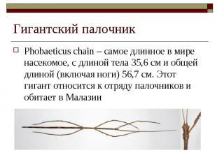 Phobaeticus chain – самое длинное в мире насекомое, с длиной тела 35,6 см и обще