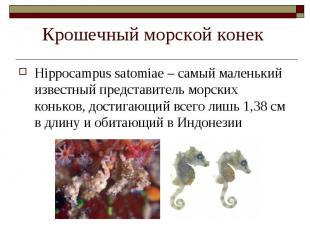 Hippocampus satomiae – самый маленький известный представитель морских коньков,