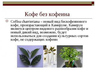 Coffea charrieriana – новый вид бескофеинового кофе, произрастающий в Камеруне.