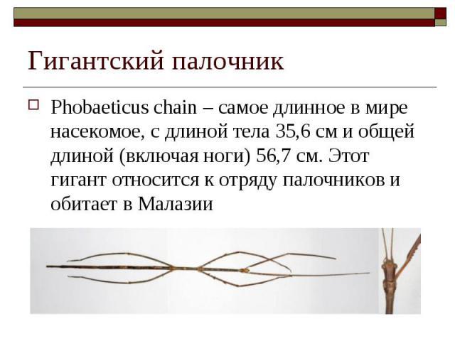 Phobaeticus chain – самое длинное в мире насекомое, с длиной тела 35,6 см и общей длиной (включая ноги) 56,7 см. Этот гигант относится к отряду палочников и обитает в Малазии Phobaeticus chain – самое длинное в мире насекомое, с длиной тела 35,6 см …