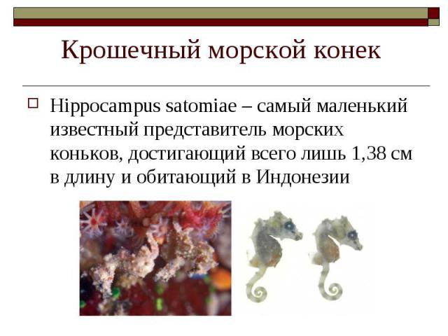 Hippocampus satomiae – самый маленький известный представитель морских коньков, достигающий всего лишь 1,38 см в длину и обитающий в Индонезии Hippocampus satomiae – самый маленький известный представитель морских коньков, достигающий всего лишь 1,3…