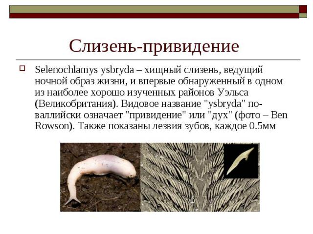 """Selenochlamys ysbryda – хищный слизень, ведущий ночной образ жизни, и впервые обнаруженный в одном из наиболее хорошо изученных районов Уэльса (Великобритания). Видовое название """"ysbryda"""" по-валлийски означает """"привидение"""" или &q…"""