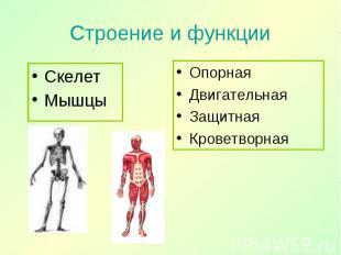 Скелет Скелет Мышцы