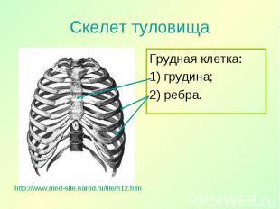 Грудная клетка: Грудная клетка: 1) грудина; 2) ребра.