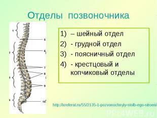 – шейный отдел – шейный отдел - грудной отдел - поясничный отдел - крестцовый и
