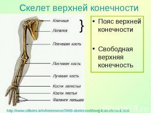 Пояс верхней конечности Пояс верхней конечности Свободная верхняя конечность