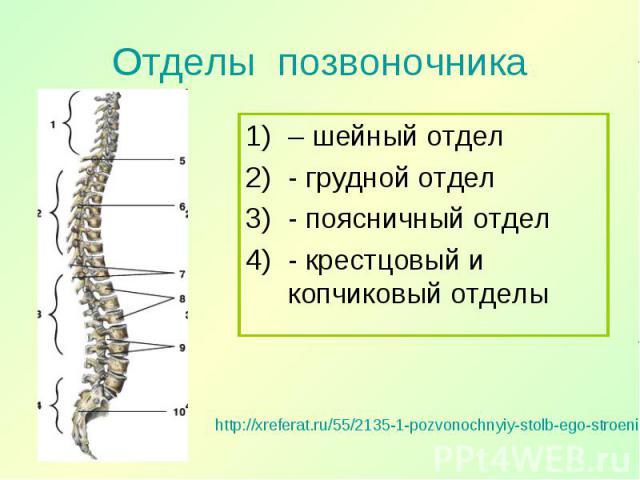 – шейный отдел – шейный отдел - грудной отдел - поясничный отдел - крестцовый и копчиковый отделы