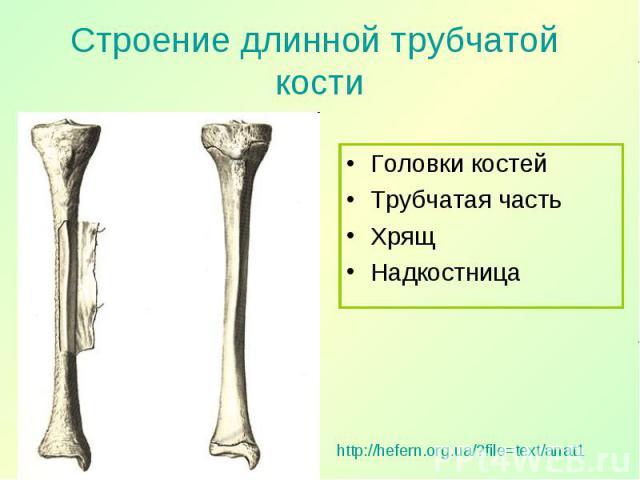 Головки костей Головки костей Трубчатая часть Хрящ Надкостница
