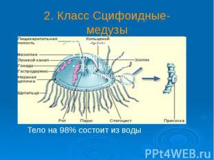 2. Класс Сцифоидные- медузы