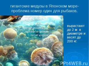 гигантские медузы в Японском море- проблема номер один для рыбаков.