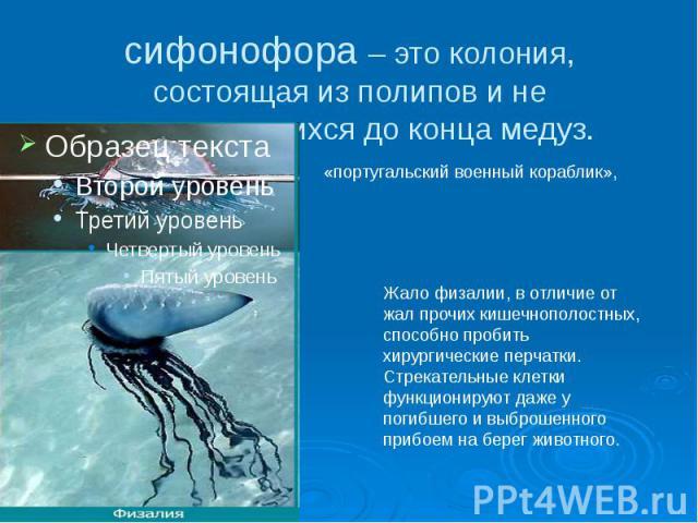 сифонофора – это колония, состоящая из полипов и не отпочковавшихся до конца медуз.
