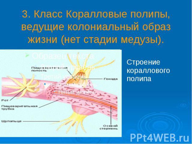 3. Класс Коралловые полипы, ведущие колониальный образ жизни (нет стадии медузы).