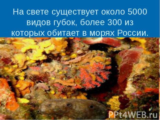 На свете существует около 5000 видов губок, более 300 из которых обитает в морях России.
