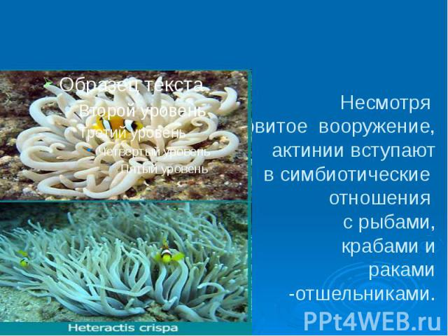 Несмотря на ядовитое вооружение, актинии вступают в симбиотические отношения с рыбами, крабами и раками -отшельниками.