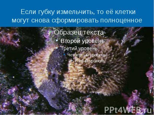 Если губку измельчить, то её клетки могут снова сформировать полноценное животное.