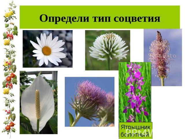 Определи тип соцветия